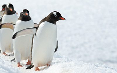Antarctica Penguins 1500 X 600